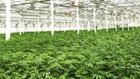 Vorbild Kanada:  Ab 2019 soll Medizinal-Cannabis in Deutschland angebaut werden.