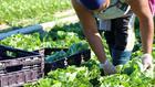 Erntehelfer Ernte Landwirtschaft Saisonarbeiter Salat
